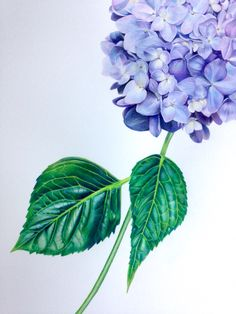 Hydrangea, blue mop head. Botanical Illustration by Sarah Jane Humphrey http://sarahjanehumphrey.com