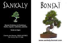 Superbe Pinus Pentaphylla de 38 cm (importation Japonaise 2013) disponible chez www.sankaly-bonsai.com  http://www.sankaly-bonsai.com/achat-vente-acheter-bonsai-exterieur-feuillus-sankaly-bonsai/2509-vente-de-bonsai-pinus-pentaphylla-pin-blanc-du-japon-40-cm-ppjp130902.html