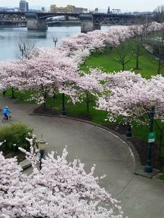 Spring time Cherry Blossoms along Portland's waterfront Portland, Oregon. Downtown Portland, Portland Oregon, Oregon Living, Pacific Northwest, Nature Photos, Spring Time, Early Spring, Pretty Pictures, Mother Nature