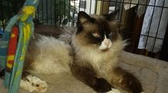 Cyrus is an adoptable Ragdoll Cat in Burlington, WA. Cyrus is a 6+ year old gentle boy. He was living in a barn and had some dental issues so he came to SPOT and now his is happy healthy and looking f...