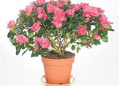 I do not have a green thumb.lets see if I can bring my Azalea back from the brink.How to Care for a Potted Azalea Indoor Garden, Indoor Plants, Where To Buy Flowers, Buy Flowers Online, Flowering Shrubs, My Flower, Houseplants, Garden Landscaping, Planting Flowers