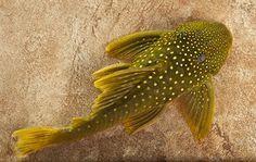 green phantom pleco lrg hemiancistrus subviridis care and information. Pleco Fish, Plecostomus, Fish Home, Cool Fish, Freshwater Aquarium Fish, Beautiful Fish, Cichlids, Going Fishing, Catfish