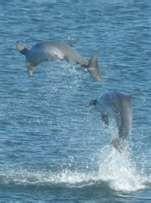 Dolphins near Hyatt Bonita Springs