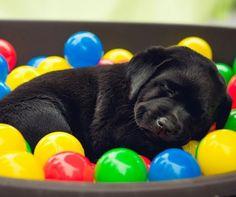 Puppy Nap in ballpit