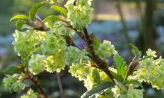 Ribes Laurifolium Front Garden up to 1m