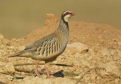 Red-legged Partridge (Alectoris rufa intercedens)