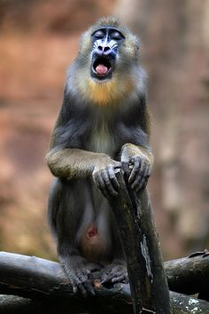 The Singing Baboon