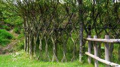 osier fence