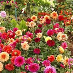 Dahlia (Dahlia Variabilis Dwarf Double Opera Mix) - Start this Dahlia seed mix for a variety of lovely colors: white, violet, red, orange, and yellow blooms on dwarf plants that are perfect for the fr