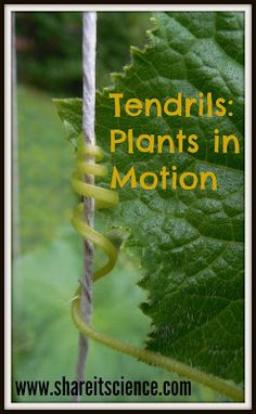 Glimpse of the Garden: Week Tendrils- Plants in motion. Great time-lapse video of moving and twisting vines. Learn the science behind this plant motion phenomenon in the garden! Elementary Science Experiments, Preschool Science Activities, Easy Science Experiments, Steam Activities, Science News, Science Fair, Science For Kids, Science And Nature, Outdoor Activities