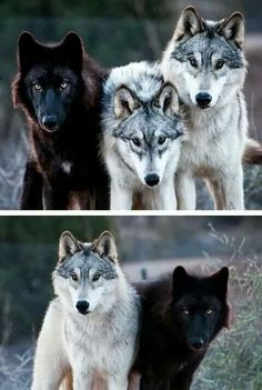 The wolf to the left is the Black wolf of the family. Wolf Photos, Wolf Pictures, Beautiful Wolves, Animals Beautiful, Animals And Pets, Cute Animals, Wild Animals, Wolf Hybrid, Wolf Spirit Animal