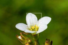 Die weiße Blüte des Steinbrechs - auf http://ronni-shop.fineartprint.de