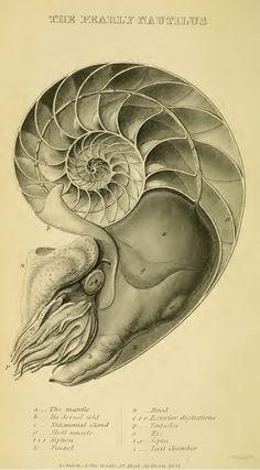 The Study: The Malacological Marvel of the Nacreous Nautilus