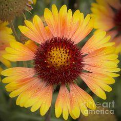 Blanket Flower by Belinda Greb