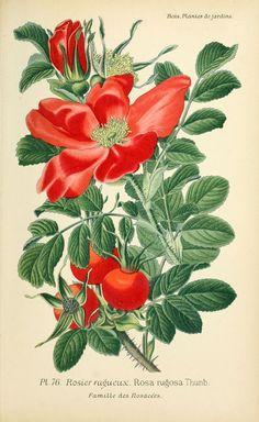img/dessins plantes et fleurs jardins et appartements/dessin de fleur de jardin 0155 rosier rugueux - rosa rugosa.jpg