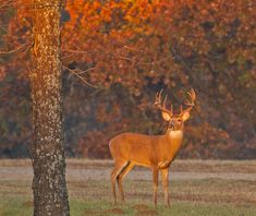 Early morning lights up a big whitetail buck near Lake Thunderbird in Norman. Whitetail Deer Pictures, Deer Photos, Deer Pics, Trophy Hunting, Deer Hunting, Deer Camp, Hunting Stuff, Most Beautiful Animals, Beautiful Creatures