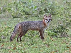 Photo: Mother gray fox is a vulpine beauty!