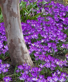 Some crocus anyone?  Snow crocus are smaller, lovely, and cheap!
