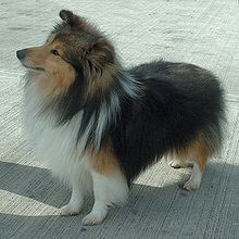 The Shetland Sheepdog, often known as the Sheltie, is a breed of herding dog. It was developed to tend the diminutive sheep of the Shetland Islands, whose rugged, stormy shores have produced other small-statured animals such as the Shetland pony.