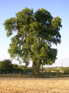 frene arbre