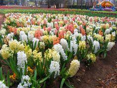 Sümbül Çiçeği Nedir? Sümbül Çiçeği Ne Anlama Gelir?