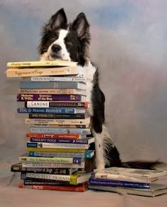 THE smartest breed. Look it up and then argue with me. :) #bordercollie #booksmart #smartass