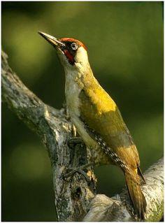 nederlandse spechten - De groene specht (Picus viridis) is een vogel die behoort tot de familie spechten, en komt ook voor in Nederland en België.De groene specht is olijfgroen ...