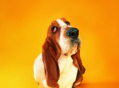 Courious Basset Hound , Funny Dog Pictures