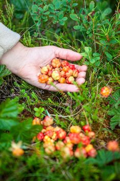 You might not know it but Norway has a rich array of tasty berries, from cloudberries to raspberries. Norway Culture, Norwegian People, Berry Picking, Scandinavian Food, Visit Norway, Tromso, Trondheim, Raspberries, Beautiful Places