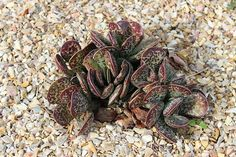 Here are the list of over 118 different types of succulents and cactus with pictures that will help you identify what kind of succulents (indoor, outdoor). Growing Succulents, Succulents In Containers, Cacti And Succulents, Planting Succulents, Different Types Of Succulents, Christmas Cactus Plant, Cactus House Plants, Cactus Types, Succulent Gardening