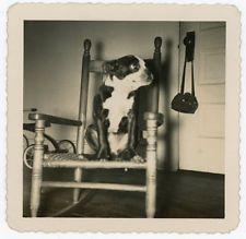 BOSTON TERRIER DOG ON A CHAIR VINTAGE SNAPSHOT PHOTO