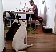Waiting For A Bite Of Food ~ So What Bull Terriers