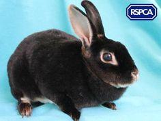 Lavender, Rex rabbit, 2 Years, Halifax, Huddersfield and District Animal Centre