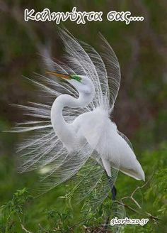 GREAT EGRET / (Ardea alba), also known as the Common egret, Large egret or (in the Old World) Great white heron. Pretty Birds, Love Birds, Beautiful Birds, Beautiful World, Animals Beautiful, Animals And Pets, Cute Animals, Windy Day, Mundo Animal