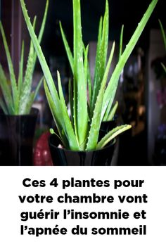 These 4 plants for your room will cure insomnia and sleep apnea – Health Nutrition Health And Nutrition, Health Fitness, Weght Loss, Ginger Wraps, How To Know, How To Make, Fitness Tattoos, Plantar, Sleep Apnea