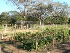 Tierra Pacifica's Mi Tierra organic research and demonstration farm in Playa Junquillal, Guancaste Costa Rica.