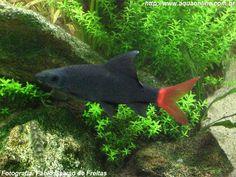 Nome científico:Epalzeorhynchos bicolor  Nome popular (BR):Labeo bicolor, Tubarão de Cauda Vermelha