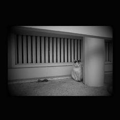 https://flic.kr/p/yHXGwH | Shiro October 2015  #cat #smallcats #blackandwhitephotography