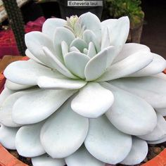 Echeveria laui. I want! Its beautiful