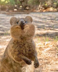niedliche Tiere Happy as a Quokka Which one is your favorite, Rottnest Island, Western Australia. Photos by cruzysuzy Happy Animals, Cute Funny Animals, Funny Animal Pictures, Cute Baby Animals, Animals And Pets, Nature Animals, Amazing Animals, Animals Beautiful, Beautiful Scenery