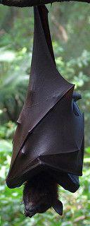 Pteropus Vampyrus also known as the Malaysian Megabat Amazing Animals, Interesting Animals, Animals Beautiful, Animals And Pets, Baby Animals, Cute Animals, Megabat, Bat Flying, Fruit Bat