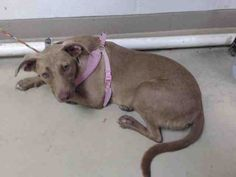 09/06/15-HOUSTON - BELLA - ID#A440863 My name is BELLA. I am a female, brown Labrador Retriever mix. My age is unknown. I have been at the shelter since Aug 18, 2015. This information was refreshed 3 minutes ago and may not represent all of the animals at the Harris County Public Health and Environmental Services.