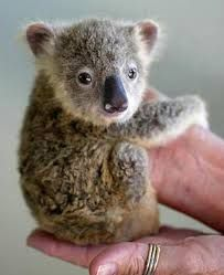 This baby koala is the cutest thing ever. This baby koala is the cutest thing ever. Cute Baby Animals, Animals And Pets, Funny Animals, Zoo Animals, Small Animals, Funniest Animals, Unusual Animals, Animals Beautiful, Beautiful Cats