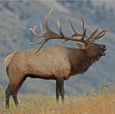 Beautiful Bull Elk
