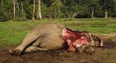 Masacres de animales: 200 elefantes muertos en Camerún - Ecologismo