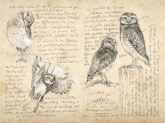 Coruja-buraqueira. Ilustração: Marcello Pettineo