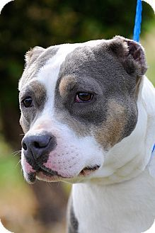 Gone  This beauty keeps getting lucky but she is not safe still needs saved  Johnson City, TN - Pit Bull Terrier Mix. Meet Darcy a Dog for Adoption.