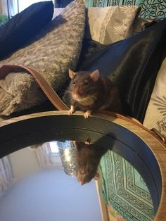 Gilmour realising just how handsome he is #aww #cute #rat #cuterats #ratsofpinterest #cuddle #fluffy #animals #pets #bestfriend #ittssofluffy #boopthesnoot