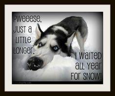Siberian Huskies love their snow!!