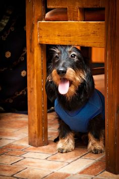 Read about wire haired dachshund http://www.dogspot.in/talking-about-wire-haired-dachshund/